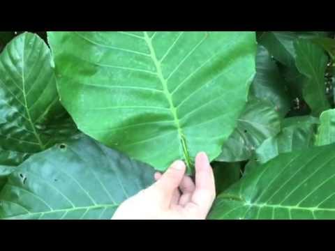 CB leaves - YouTube