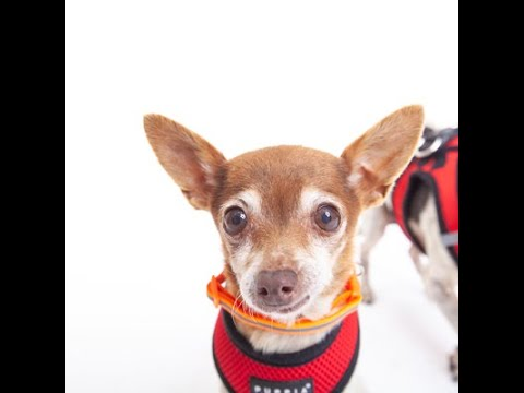 Terra, a female Chihuahua at Muttville-adopted!