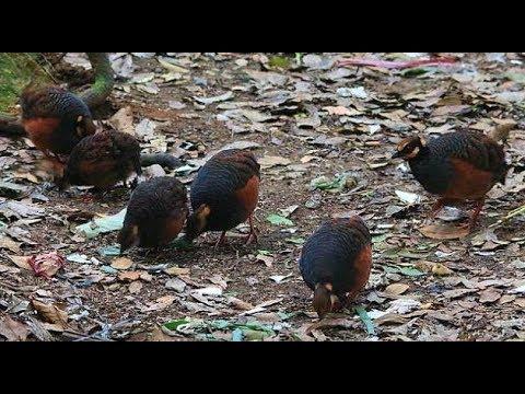 Pikat burung Puyuh hutan bagian ke dua langsung dapat mantap
