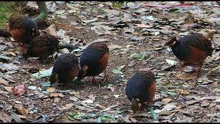 Pikat burung Puyuh hutan seru banget