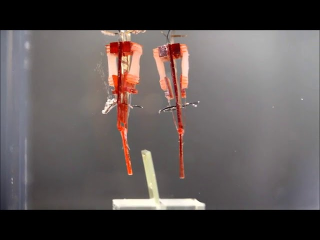 Japanese researchers have made robots with living muscle tissue