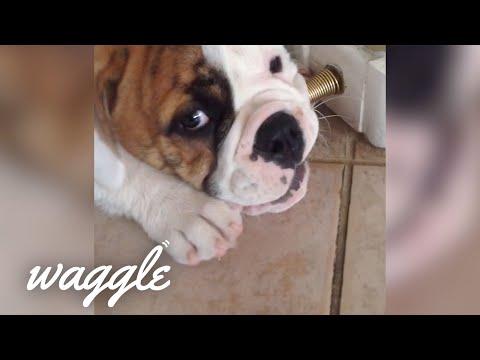 Puppies vs Door Stops   Try Not to Laugh Challenge