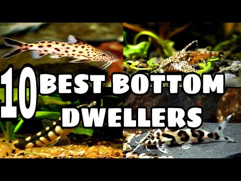 Best Freshwater Bottom Dwellers Fish For Your Aquarium