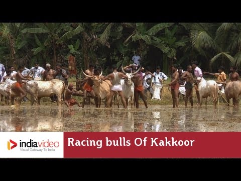 Racing bulls of Kakkoor Kalavayal, Kerala