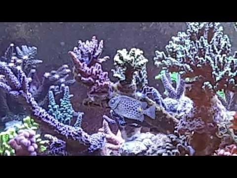 Orange Spotted Spinefoot Rabbitfish