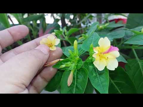Beautiful Plants Mirabilis jalapa