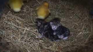 Мама кошка с котятами и  утятами