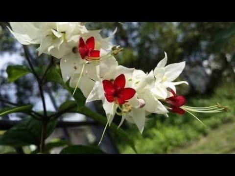 68.How to grow and care bleeding heart vine.