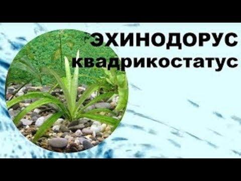 Эхинодорус квадрикостатус содержание, уход, размножение.