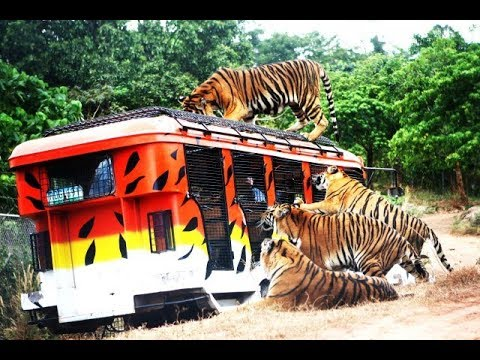 Kobe Field Trip: Zoobic Safari Tiger Encounter and Feeding