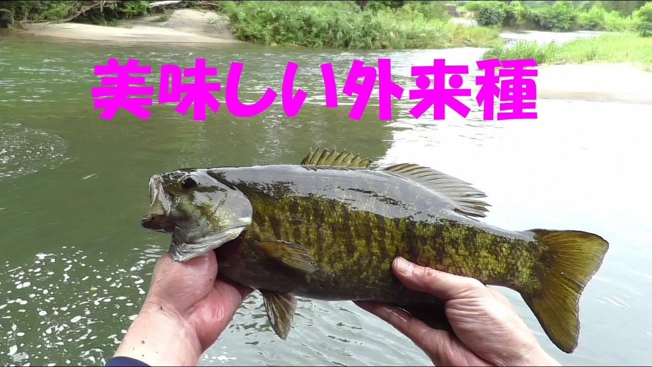 【外来種】近所の川でスモールマウスバスを釣るのに3日も費やした件