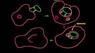 видео Антитела к цитоплазме нейтрофилов (ANCA, АНЦА), IgA антитела, кровь