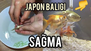 Goldfish Breeding Techniques - Eggs Laying