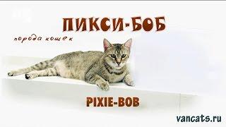 Кошка Пикси-Боб, кошка Пиксибоб