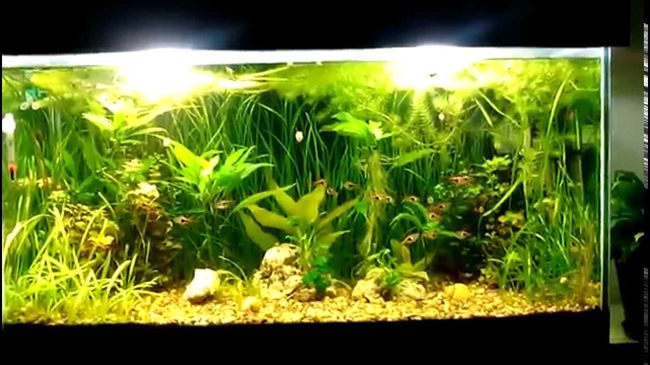 Freshwater aquarium fish rasbora - Aquarium 180l Rasbora Fish Yellow Snail Red Cherry Shrimp Ancistrus