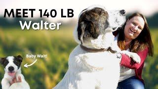 Livestock Guardian Dog | Meet Walt! (Great Pyrenees & Anatolian Shepherd)