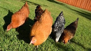 Pastured Free-range Backyard Chickens: Letting Them Out Each Morning