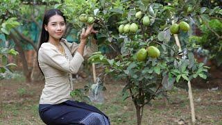 Harvest Guava fruit in my village - Fresh fruit