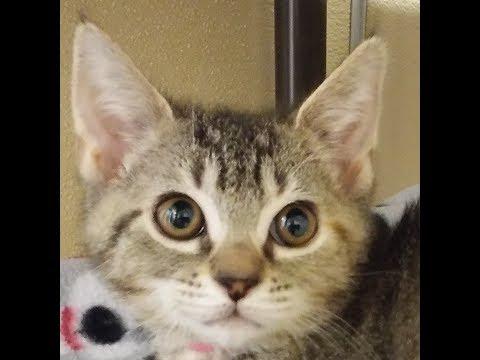 Ella Fitzgerald, an Adoptable Female Shorthair Kitten