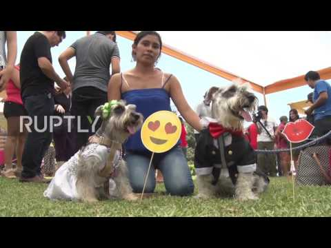 Peru: Puppy Love in the air at dog weddings ahead of Valentine's Day