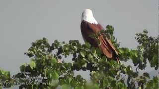 Brahminy Kite, White-bellied Sea Eagle,Booted Eagle & Black-winged Kite In Nature