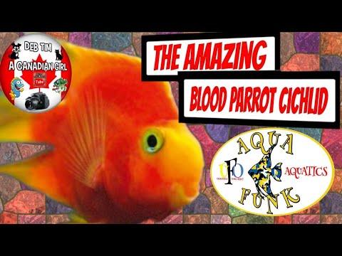 BLOOD PARROT CICHLID CARE