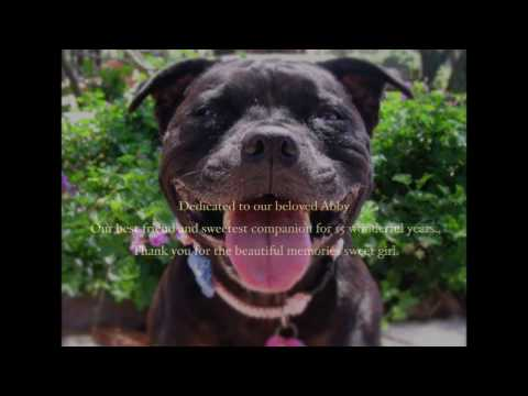 Abby The Staffordshire Bull Terrier Tribute