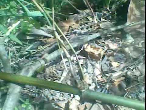 Penemuan bambu petuk langka unik antik di hutan YouTube