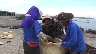 Упаковка сухих водорослей в мешки на острове Чеджу Южная Корея