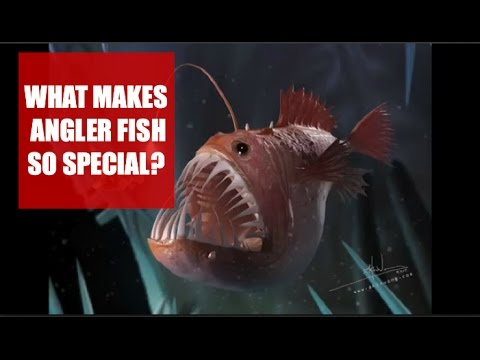 What Makes Angler Fish So Special?