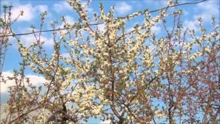VLOG:  цветут вишни, сливы, груши; ловим майских жуков