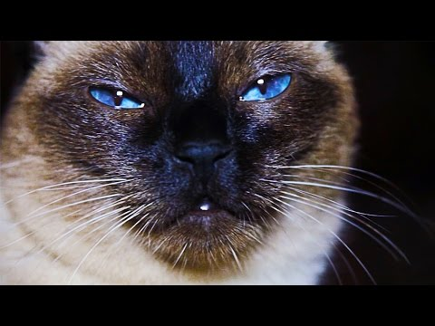 Siamese cat - for Cat lovers