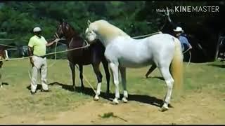 Cara proses mengawinkan kuda
