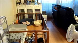 脱走しても飼い主の帰りに合わせてサークルに戻るダックス(^_^;)・This is amazing ! Dog back and escaped from the kennel