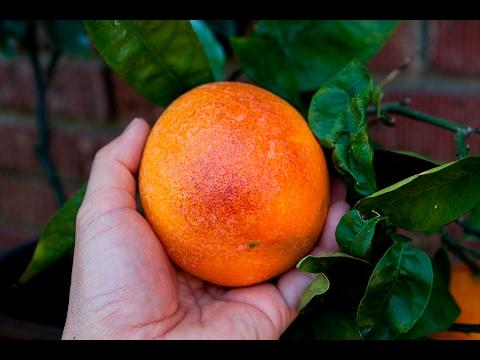 Sanguinelli Blood Orange - A Look Inside