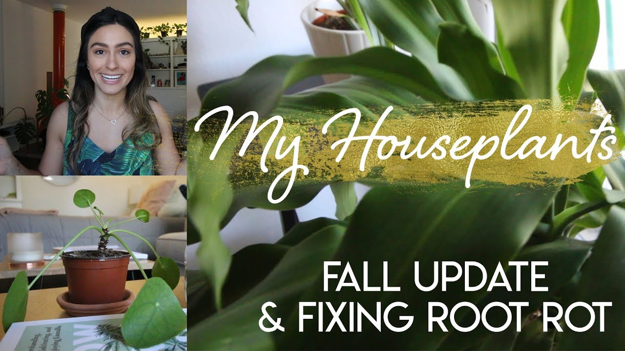 My Houseplants: Fall Update and Fixing Monstera Root Rot - YouTube on house plant leaf blight, house plant insects, corn house plant rot, house plant scale, house plant fungus, house plant caterpillars, house plant mold, house plant nutrient deficiency, house plant virus, house plant snails, house plant leaf spots,
