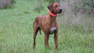 Rhodesian Ridgebacks - Hawk, Storm & Soda (border Terrier).