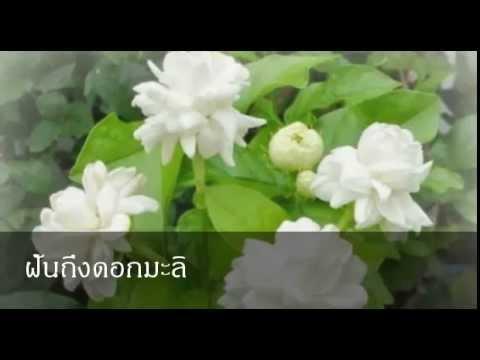 ฝันถึงดอกมะลิ หมายถึงอะไร (เลขเด็ด)