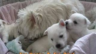 """West Highland White Terrier """"la Donna Und Die Fünf Schneebälle"""""""