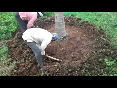Taking Care of COCONUT TREES organically by Ravi