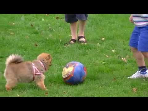 Cilla The Pom is a Great Footballer