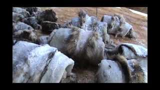 Tanning Fur Hides