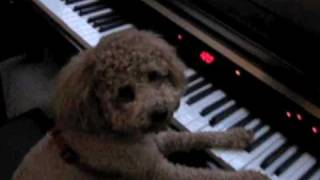 Cute Brown Poodle Bb Loves To Play The Piano!紅貴賓
