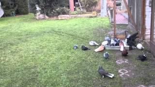Николаевские голуби.22.01.2015