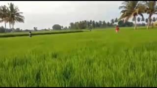 Rice Cultivation in thanjavur | தஞ்சாவூர் அரிசி சாகுபடி