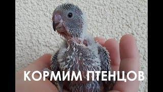 🐣 Кормим птенцов волнистого попугая