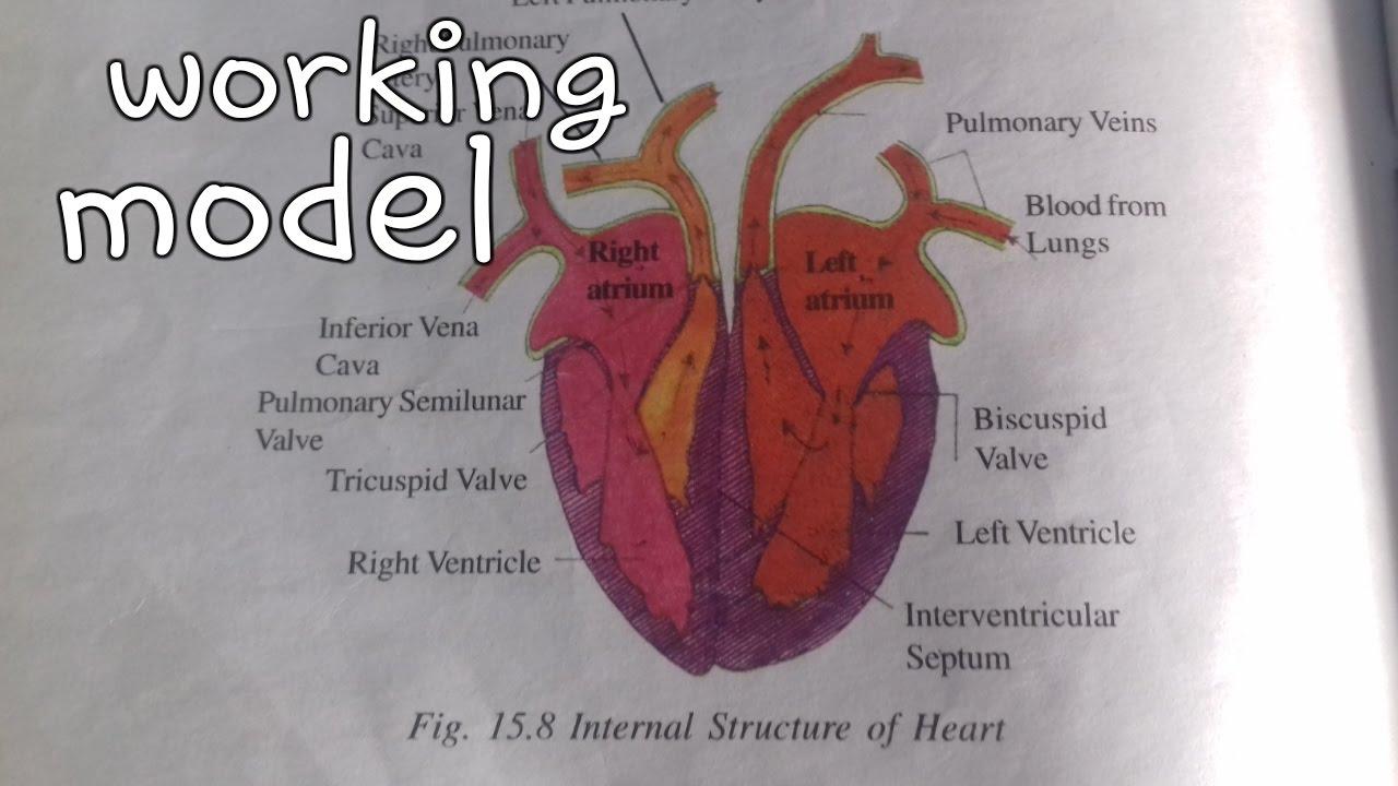 ✓👍❤Working heart model || heart science project || 10th class ...
