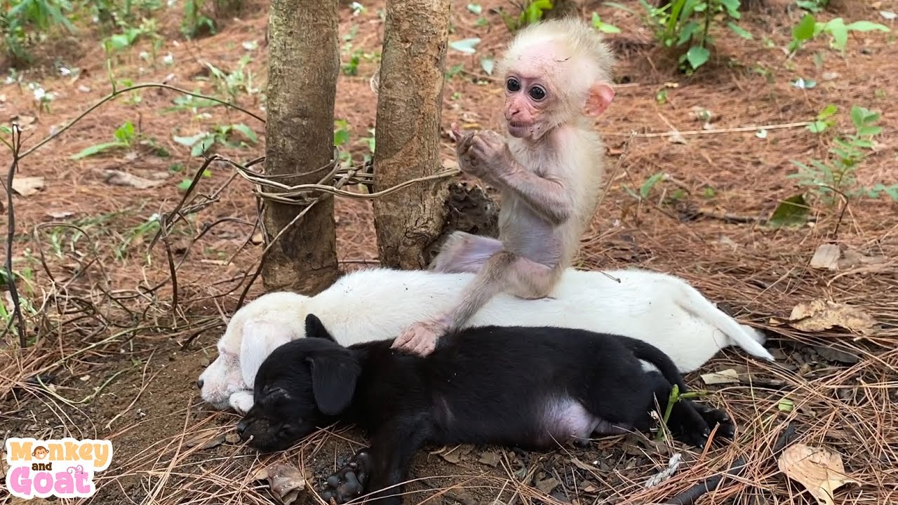 Cute baby monkey relax and play happily with puppies