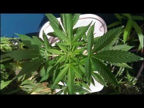 AK74 Grow log/timelapse Cannabis Sativa/Indica/Ruderalis  (Seeds from Joep Van Oomen!).