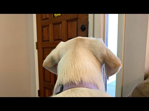GoPro on a Labrador Puppy Left Home Alone!